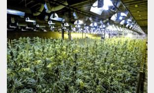 Cannabisplantage met 1.000 plantjes opgerold in Oostkamp