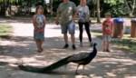 Speeltuin De Brielmeersen weer open: pauw geniet van belangstelling