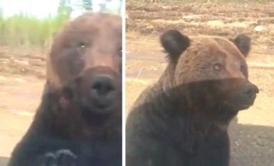 Schattige beer valt plots auto aan