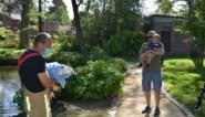 """Brandweer bevrijdt populaire eend uit benarde situatie: """"Hopelijk komt Boemmel snel terug naar de vijver"""""""