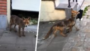 """Brusselaar filmt hoe sluwe vos zak steelt uit garage: """"Wat een deugniet!"""""""