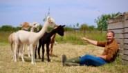 Wandelen met alpaca's én daarvoor betaald worden? Boer Carl ontvangt je met open armen
