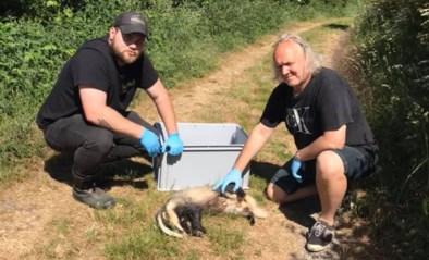 Opnieuw dode dassen gevonden in Zuid-Limburg
