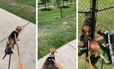 Schattige beagle reageert dolenthousiast zodra het zijn beste vriendje terugziet in hondenpark