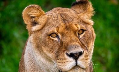 """Leeuwin in Zoo Antwerpen overleden: """"We gaan haar enorm missen"""""""