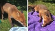 Vrouw is op haar hoede wanneer ze tijdens picknick gezelschap krijgt van wel erg nieuwsgierige vos