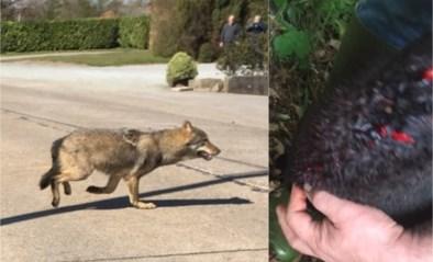 Wolf bijt twee schapen dood in weide in Duffel