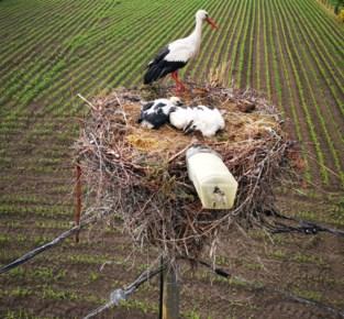 Nest vat vuur op verlichtingspaal, maar ooievaarsgezinnetje is gered