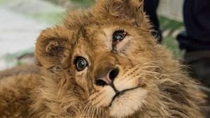 """Poten van leeuwenwelpje gebroken """"zodat het niet kon ontsnappen tijdens fotosessies met toeristen"""""""