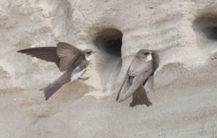 Grootste Belgische kolonie oeverzwaluwen ooit gevonden in Lillo