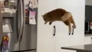 Kat waagt zich aan grote sprong naar de koelkast, maar dat loopt faliekant mis