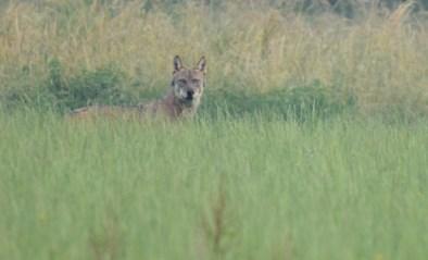 Bestelwagen rijdt wolf Billy aan op Turnhoutse ring