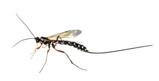 Karrenmuseum test sluipwespen bij bestrijding houtworm