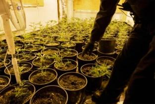 Tot acht jaar cel gevorderd voor uitbating van drie cannabisplantages