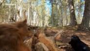 Fascinerend: eekhoorn en kraai vechten het uit om stapel pindanoten in bos