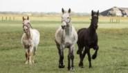 """Geen paarden of pony's meer op kermissen tegen 2023: """"Afscheid van achterhaald gebruik"""""""