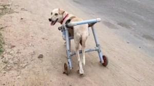 Koppel verzorgt zwerfhonden in de buurt en ontwerpt voor een van de diertjes een rolstoel