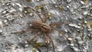"""Wetenschappers waarschuwen: """"Opwarming van de noordpool veroorzaakt babyboom bij spinnen"""""""