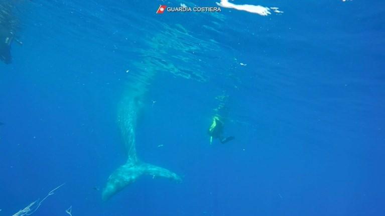 Duikers redden walvis van tien meter bij Italiaans eiland