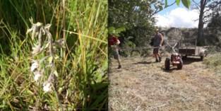 Moeraswespenorchis bloeit op puin van Wereldoorlog