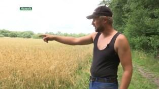 Hasseltse boer woest nadat wandelaars zijn graanveld blijven vertrappelen.