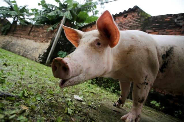 """Onderzoekers identificeren varkensgriepvirus dat tot nieuwe pandemie kan leiden: """"In staat zich snel aan te passen en mens te infecteren"""""""