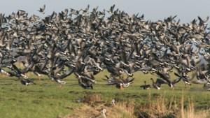 Natuur en Bos opent jacht op de grootste boosdoener der uitheemse vogels om 20 miljoen euro schade te voorkomen