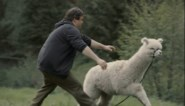 """Onze chef Media keek naar 'Albatros': """"Zelfs een scène waarin iedereen achter een ontsnapte alpaca aan hobbelt, wordt artistiek"""""""