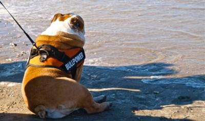 Primeur aan Belgische kust: badstad pakt uit met eerste bewaakte hondenstrand, waar de redders zelfs op hondentraining gingen
