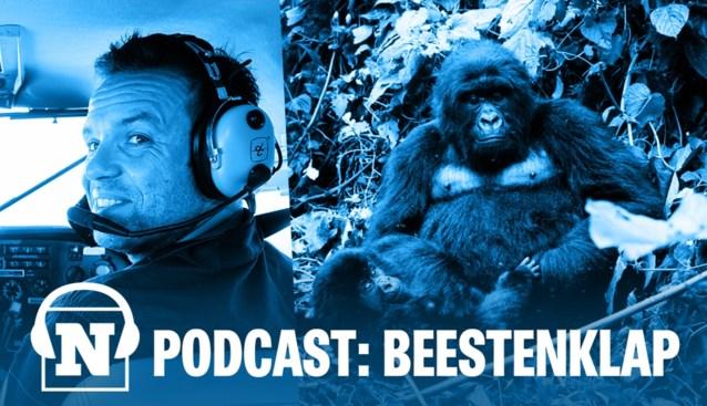 PODCAST. Boeren, blaffen en neuriën: onze man ging praten met gorilla's, maar durfde hen niet in de ogen kijken