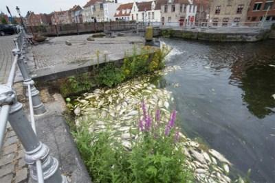 """Geen illegale, wel 'accidentele' lozing veroorzaakte massale vissterfte in Brugse wateren: """"We betreuren dit enorm"""""""