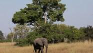 Mysterieuze olifantensterfte teistert Botswana: al zeker 162 dieren gestorven