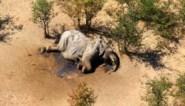 Honderden olifanten vallen plots mysterieus dood: overheid Botswana staat voor raadsel en vreest ook voor volksgezondheid
