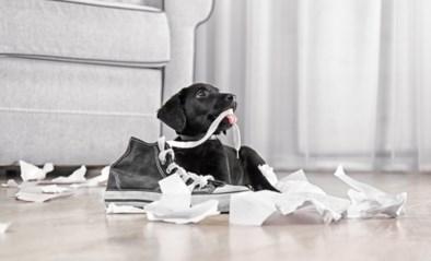 """Een hondenjaar is dan toch geen zeven mensenjaren: """"Pup van één jaar is op celniveau even oud als een mens van 30"""""""