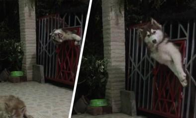 Houdini is er niets tegen: husky moet en zal ontsnappen uit ren