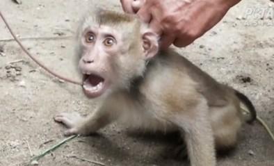 Zware dierenmishandeling in Thailand: apen moeten onder dwang duizend kokosnoten per dag plukken