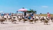 Strandgangers kunnen ogen nauwelijks geloven wanneer leger ganzen plots het strand overneemt