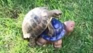 Deze bronstige schildpad begrijpt niet waarom het paren met een beeldje maar niet lijkt te lukken