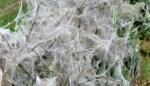 """Klein beestje geeft struiken en bomen een halloweenachtig uiterlijk: """"Zo kan het ongestoord vreten"""""""