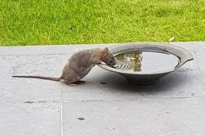 """Ratten komen boven uit verdroogde riolen in Zoersel: """"Gemeente moet iets doen aan rattenplaag"""""""