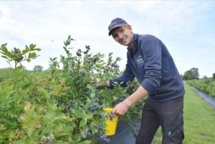Om van te snoepen: persoonlijke aspergeboer van Sergio Herman opent zelfpluktuin voor blauwe bessen