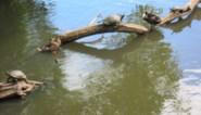 Gedumpte schildpadden in kasteelvijver al even groot als eenden