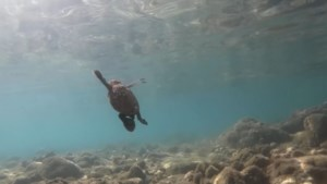 De toeristen blijven weg, en dat is goed nieuws voor bedreigde schildpaddensoort in Thailand