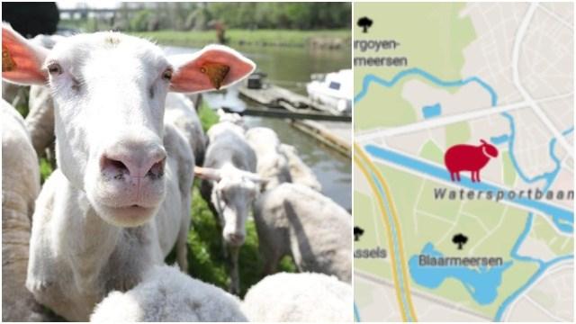 Waar zijn de Gentse schaapjes? GPS-halsband verraadt vanaf nu graaslocaties