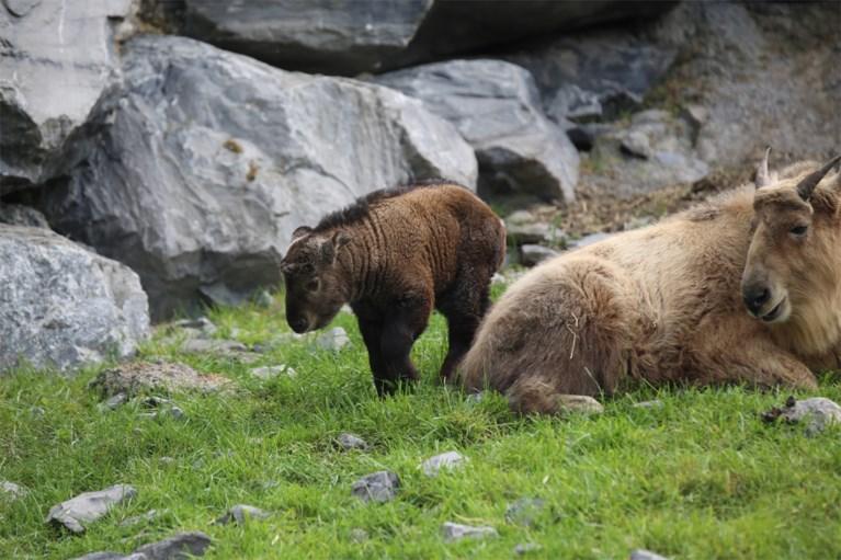 Twee met uitsterven bedreigde takins geboren in Pairi Daiza