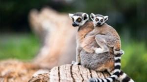 Voortbestaan van maki's, hamster en noordkaper volgens IUCN-rapport in gevaar