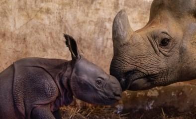Na zestien maanden wachten verwelkomt ZOO Planckendael een babyneushoorn