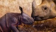 Waarom een babydier altijd schattig is, zelfs een 'lelijke' neushoorn