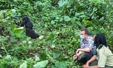 """Onze reporter spot gorilla's in Congo: """"Kijk ze niet in de ogen"""""""