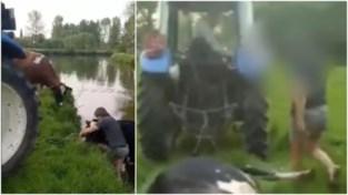 "Gaia dient klacht in tegen boer die koe met riem uit Dender sleurde: ""Niet eerste keer dat hij dieren mishandelt"""